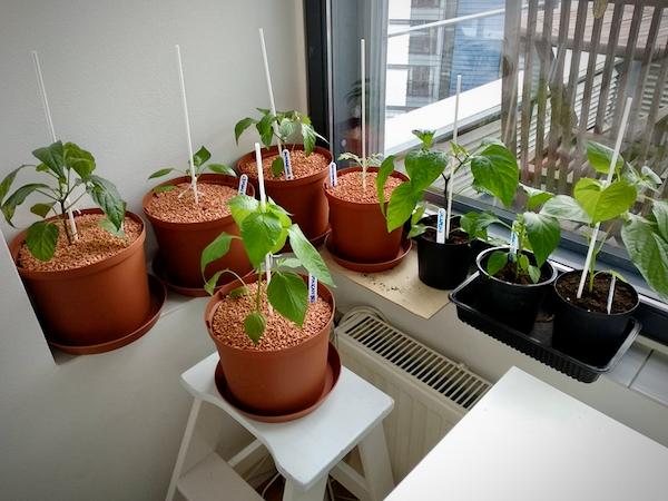 Chilintaimia sisältäviä kukkaruukkuja ikkunalaudalla