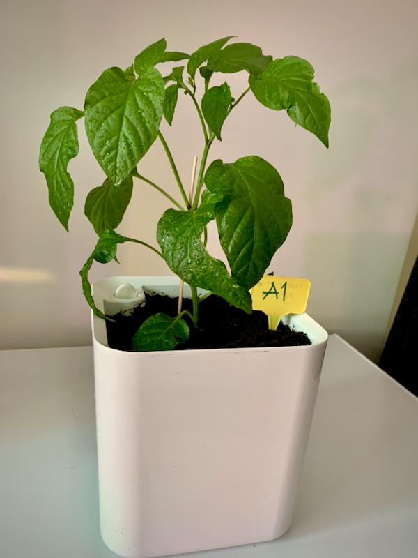 Chilikasvi valkoisessa altakastelupurkissa