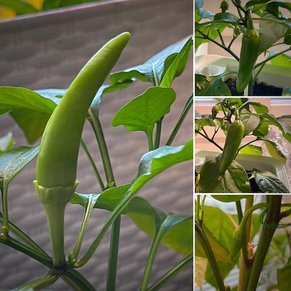 Neljä kuva chilin podeista