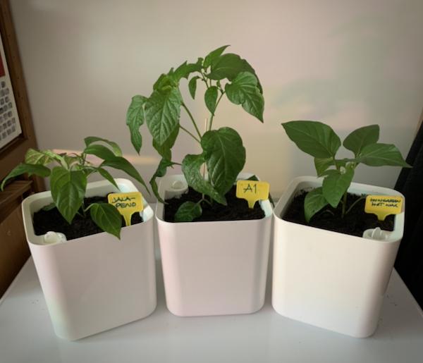 Kolme chiliä jotka ovat valkoisissa altakasteluruukuissaan
